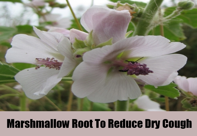 Marshmallow Root To Reduce Dry Cough