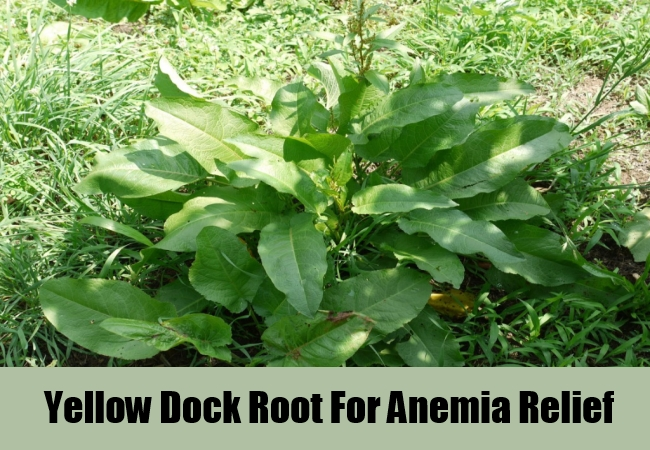 Yellow Dock Root For Anemia Relief