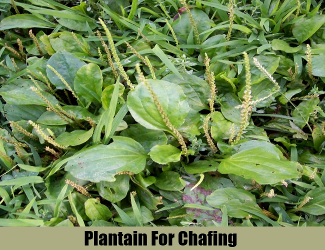 Plantain For Chafing