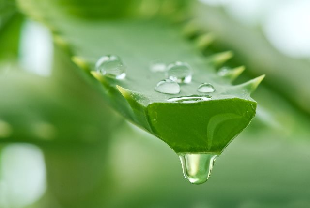 Use Aloe Vera As A Compress And Eyewash