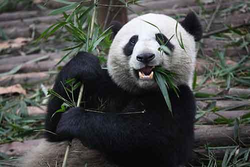 Giant_Panda_Eating