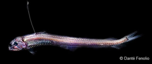Viperfish - Deep Sea Creatures