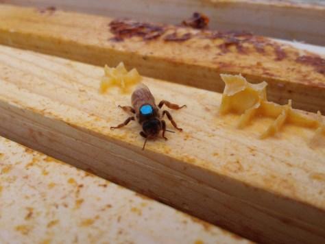 Hive 11 queen bee