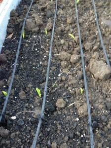 Front corn April 2013