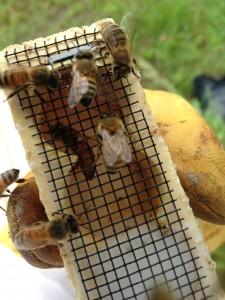 Queen bee May 2013