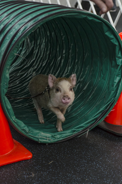 To help puppies gain confidence and have fun, small agility obstacles are introduced in class. Here Amy emerges from the tunnel.