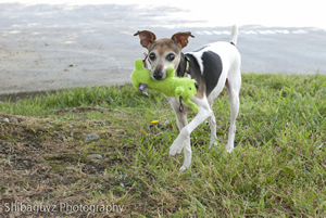 Lucy retrieves her squeak toy, which became a trademarkl of her improving health during stays at Summit Veterinary Referral Center.
