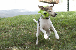 A recovered Lucy lets everyone know she is feeling much better while shaking her squeak toy during a play session.