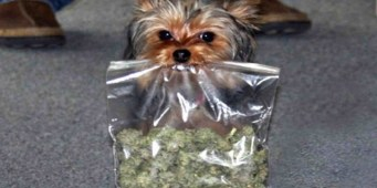 Seattle Pet Insurance Provider Sees Rapid Rise in Marijuana Toxicity Cases