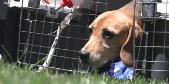 After five years in a Korean lab, these beagles touch grass for first time
