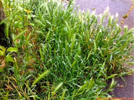 Watch out for Foxtail grass near sidewalks and medians where your dog may be walking.