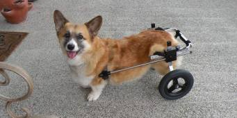 K9 Carts on Whidbey Island was the first manufacturer of dog wheelchairs.