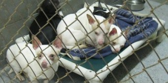 Breeder Suspected of Dumping Chihuahuas in Lewis County