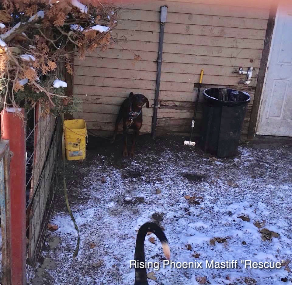 Rising Phoenix Mastiff Rescue is a Fake Dog Rescue