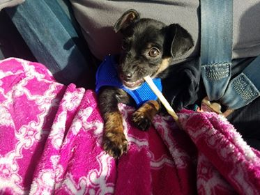 Scalawaggles Pet Rescue Adopts Out Puppy with Parvo