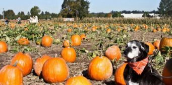 Dog Friendly Pumpkin Patches and Corn Mazes Near Seattle