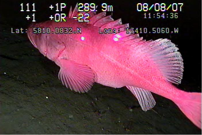 A video still is shown of a Rockfish being sighted by SeaView Systems' parallel scaling lasers on our Saab Seaeye Falcon ROV.