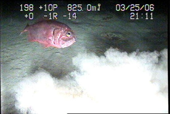 A video still image of a Cardinal Fish, recorded in 825 meters of water by SeaView Systems, is shown.