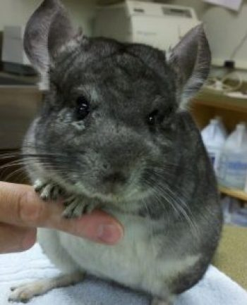 chinchilla husbandry and preventative healthcare stahl exotic