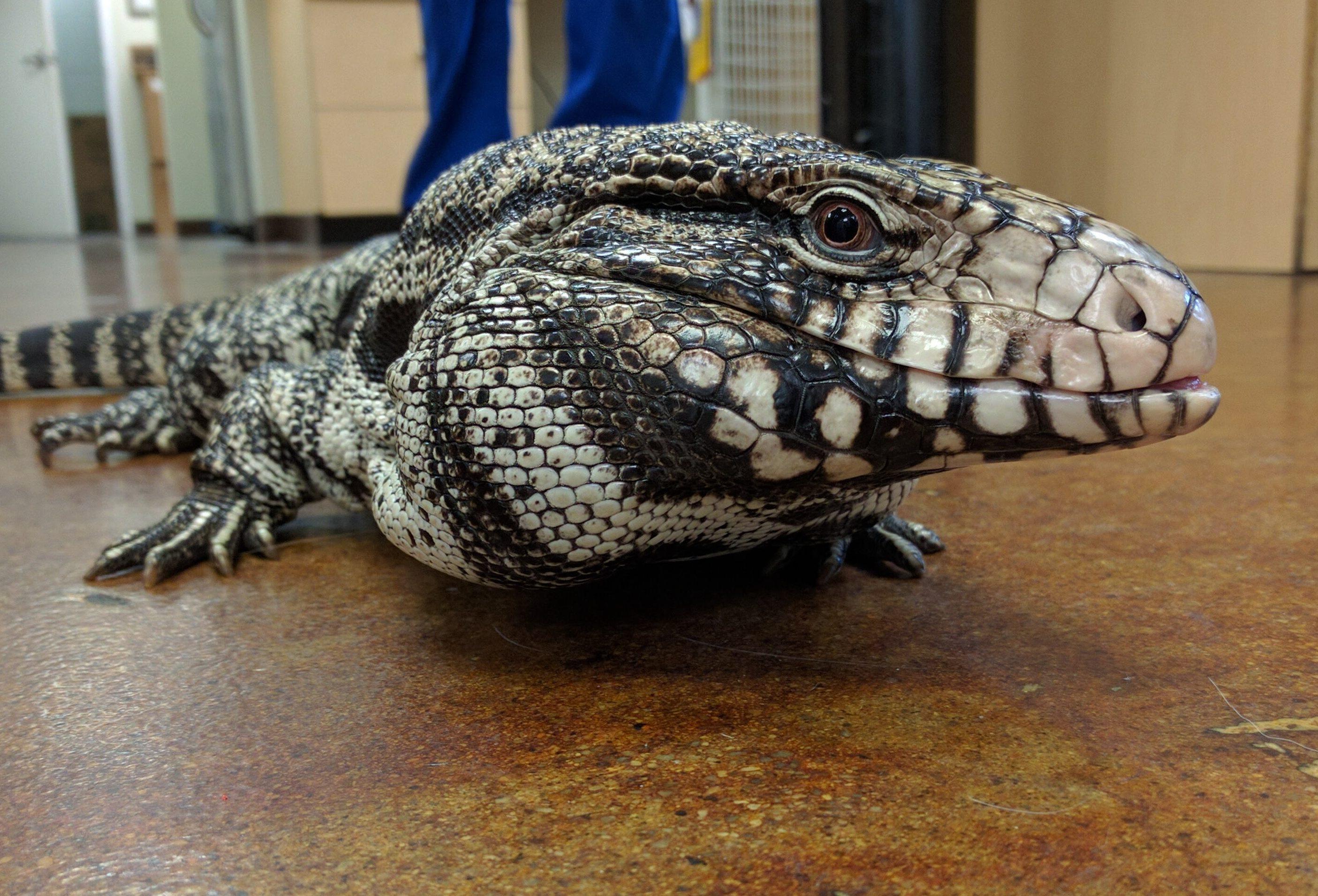 Invasive lizards spreading through parts of Florida, Georgia   Giant Tegu Lizard