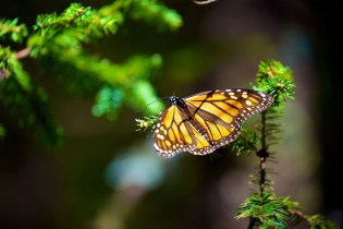 Monarch butterflies, Michoacán