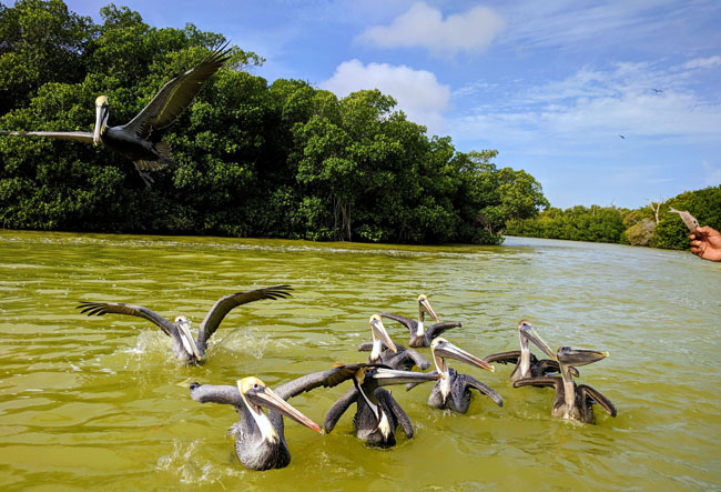 Pelicans in Río Lagartos (Alligator River) - Yucatan peninsula attractions