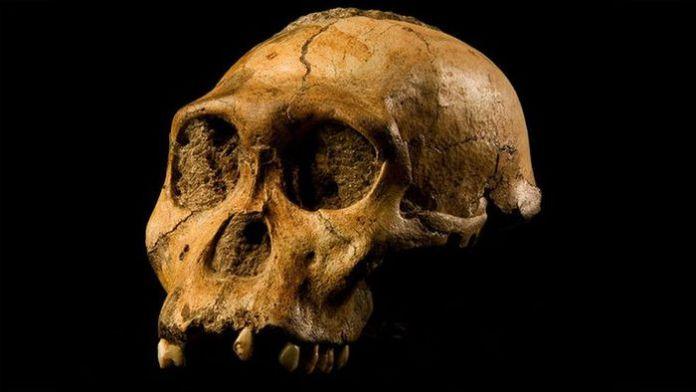 I resti del cranio di un esemplare di Australopithecus sediba