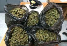sacchi marijuana