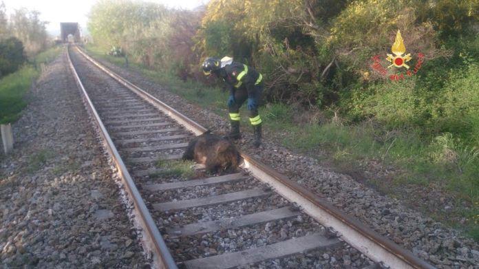 cinghiale travolto da treno