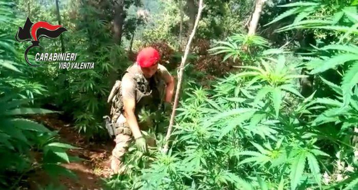 Scoperta una piantagione di marijuana nel vibonese
