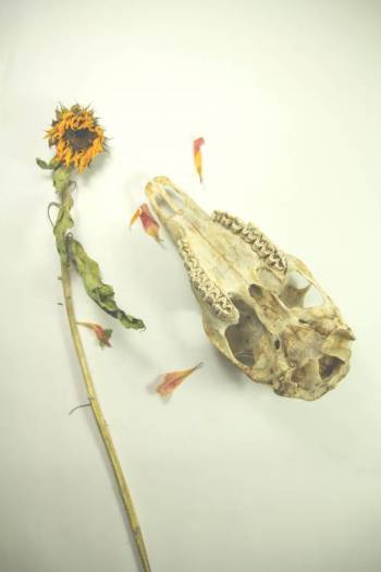 Upside-down-skull-with-sunflower optimised