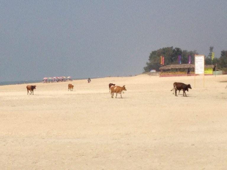 Коровы на пляже в Варке