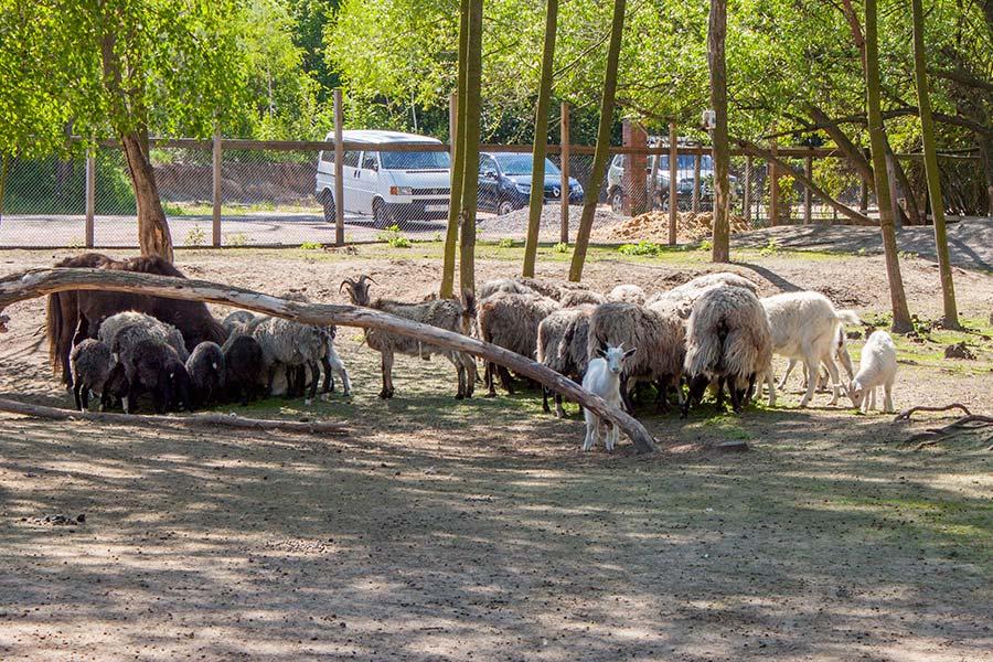 Козочки и овечки