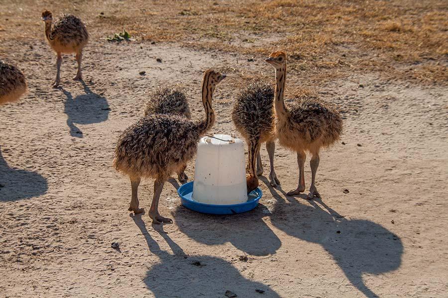 Месячные страусы