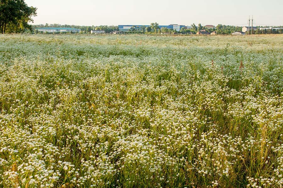 Квітуче поле ромашок під Києвом