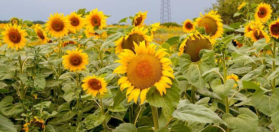 Цветущие поля подсолнухов Святопетровское