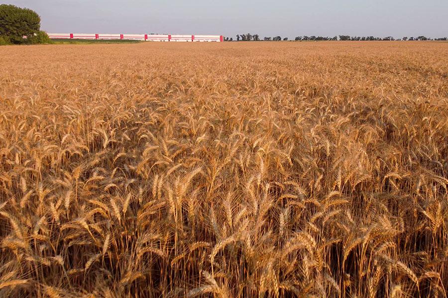 Золотистые поля пшеницы