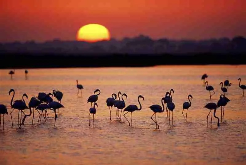 A group of Greater flamingos (Phoenicopterus ruber) in a marsh, at sunset, Coto Doñana National Park, Andalucia, Spain.