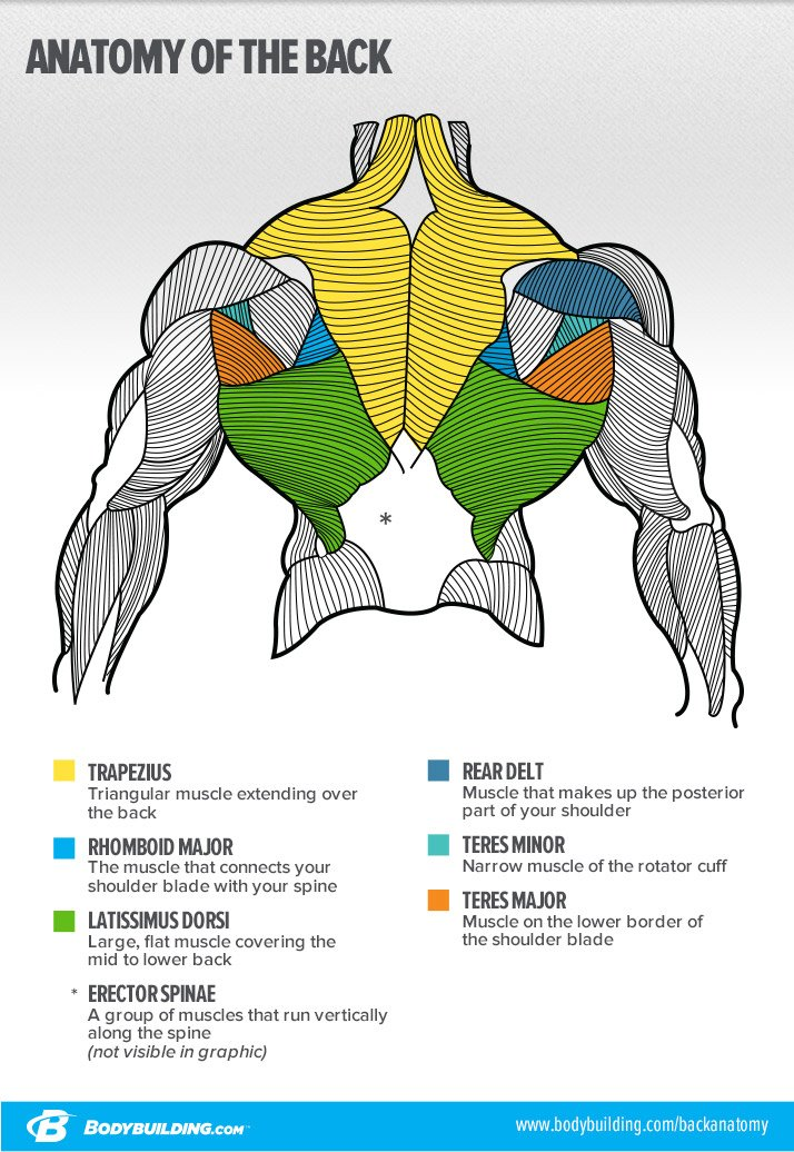 Anatomy of the back infographic