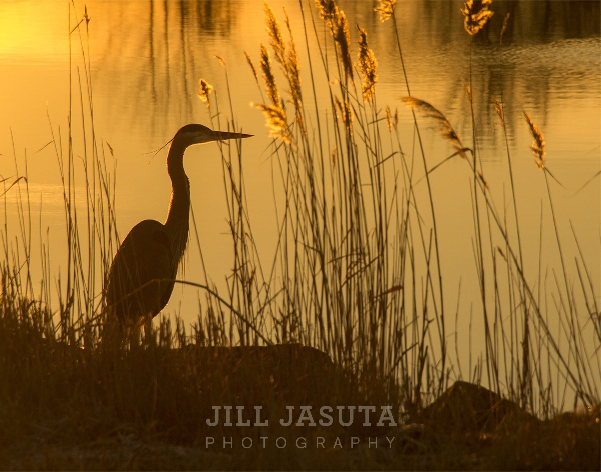 Heron in Golden Sunrise at Blackwater (JJP)