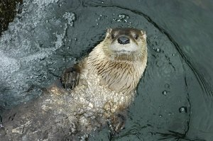 River Otters Return to Cypress Swamp