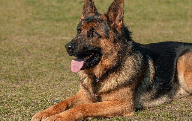 Prendre un chien de garde pour se protéger des cambriolages