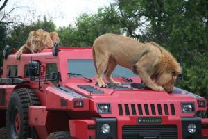 The Marauder and lions