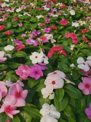 Vinca Catharanthus Roseus SunStorm Mix Periwinkle From Sedan Floral