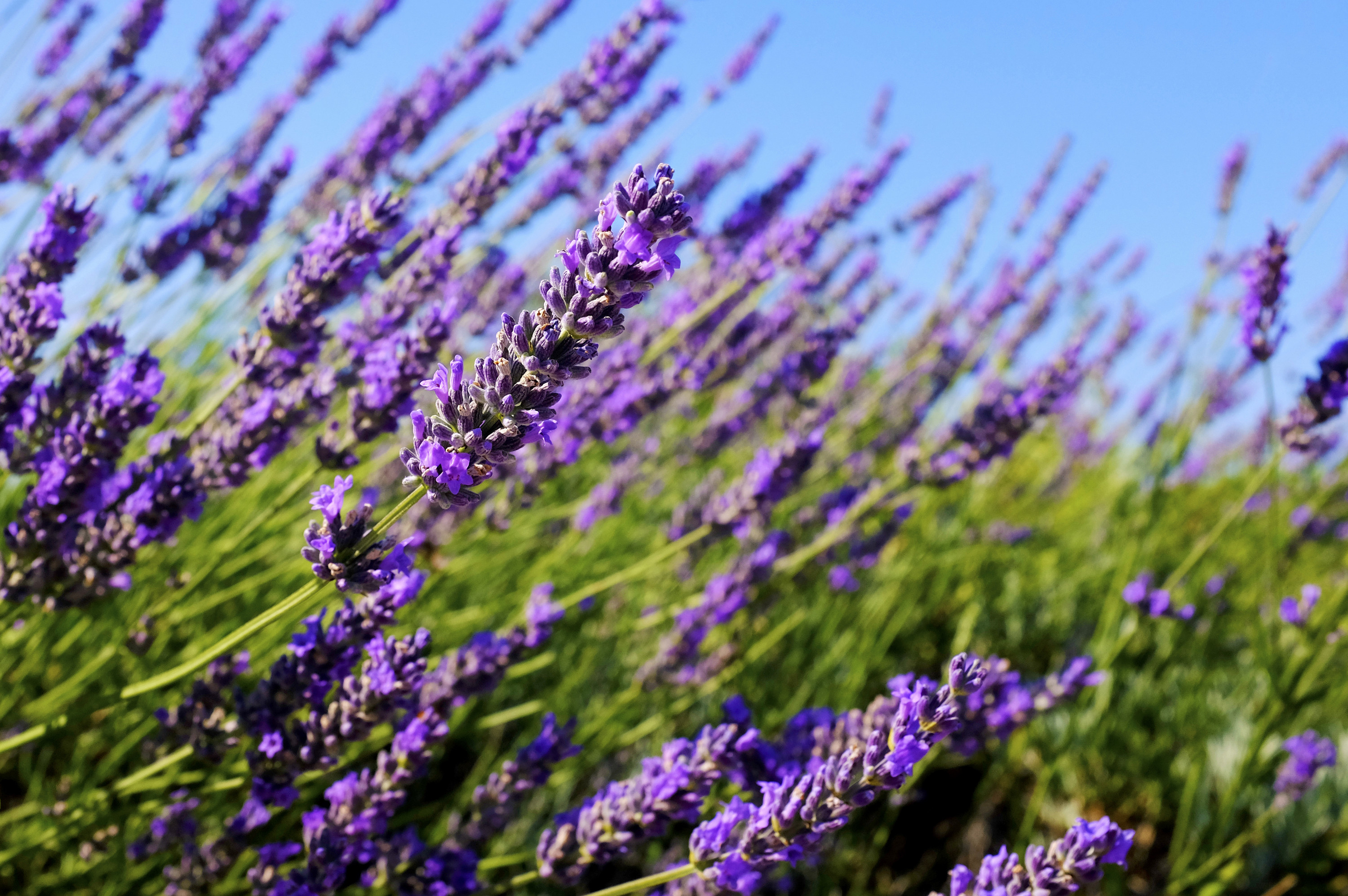 How to Grow Lavender from Seed - Natural Seed Bank