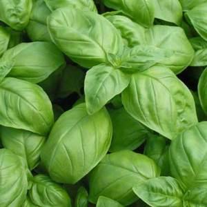 genovese basil seeds