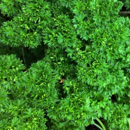 moss curled parsley seeds