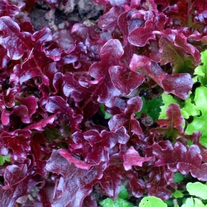 red oak leaf seeds, red lettuce seeds