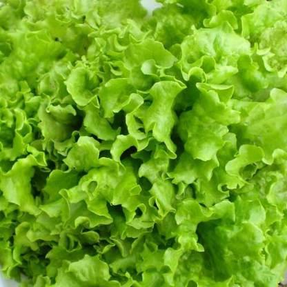 Salad Bowl Lettuce Seeds