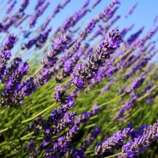 english lavender seeds, english lavender